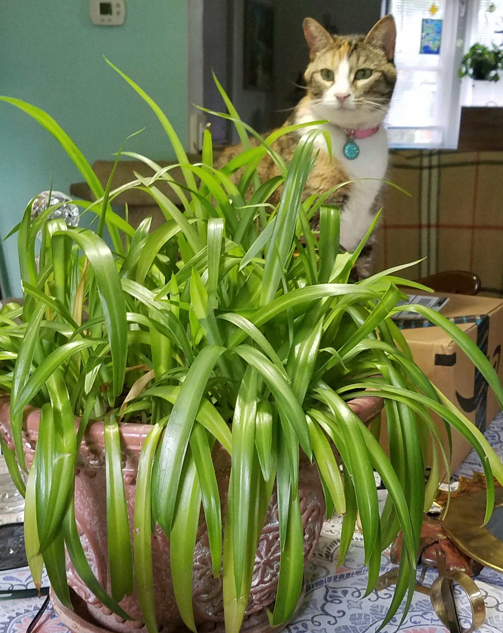 Green eyed girl daily feline wisdom for Spider plant cats